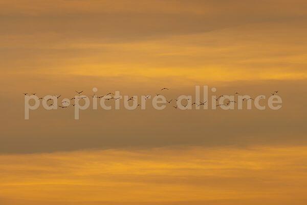 Zugvögel am Abendhimmel (25.02.2021)