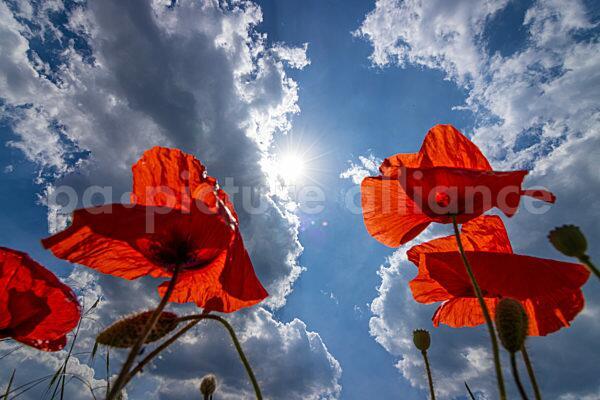 Mohnblumen und Wolkenhimmel (15.06.2021)